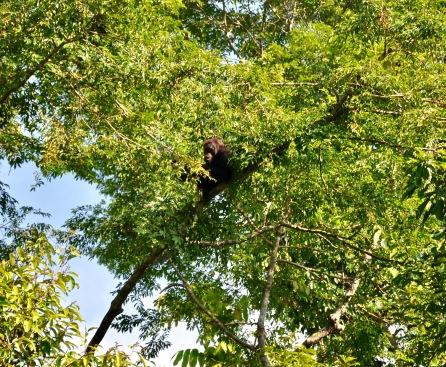 Orango adulto
